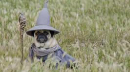 Adorable Pug Costumes
