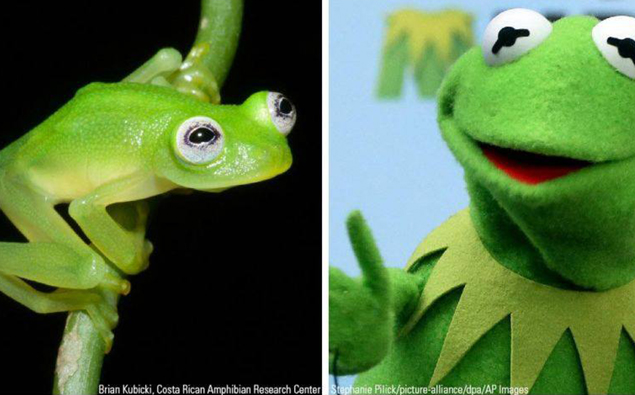Real-Life Kermit the Frog Found In Costa Rica