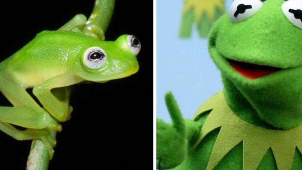 RealLife Kermit The Frog Found In Costa Rica - Real life kermit the frog discovered in costa rica