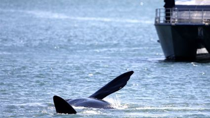 Whale spotted off Auckland's waterfront