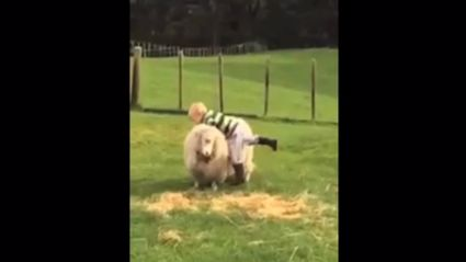 Video Of Tauranga Boys Riding Sheep Goes Viral