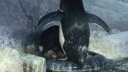 WATCH: Penguin Celebrates After Mate Lays An Egg