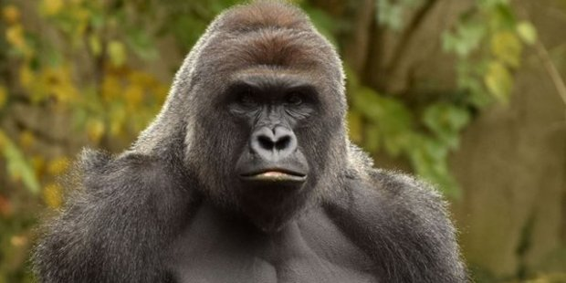 Harambe, a 17-year-old male Western lowland gorilla, was shot dead inside his enclosure at the Cincinnati Zoo. Photo / Cincinnati Zoo