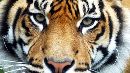 One of the Sumatran Tigers at Hamilton Zoo. Photo / Dean Purcell