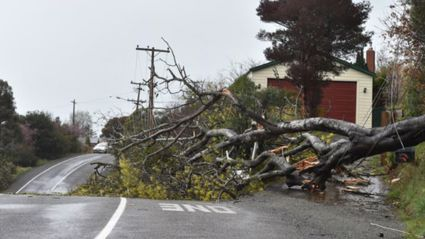 A tree that brought down power lines on Dr's Point Road. Photo / Gregor Richardson