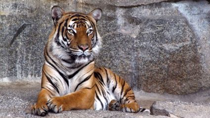 Killing of a tiger in attempt to save man at Chinese zoo sparks online outrage