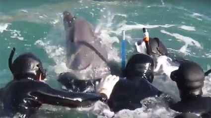 Mother dolphin desperately battles to save her calf from hunters trying to snatch it 'to sell to an aquarium' in Japan