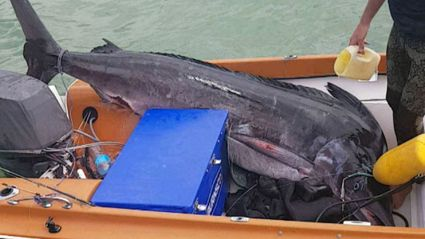 Spearfisher's first shot lands record marlin