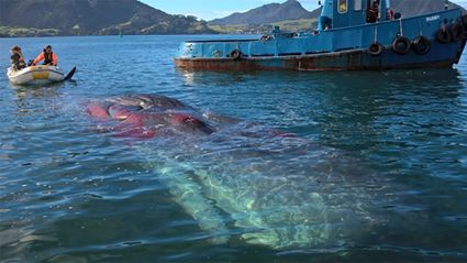 Dead sperm whale towed clear of Whangarei Harbour