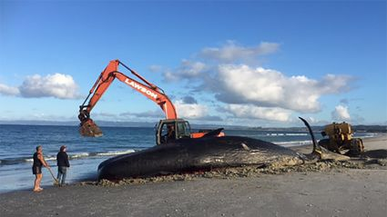 Disposal of dead sperm whale from Ruakaka Beach angers Te Parawhau kuia
