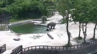 Elephant's rush to rescue drowning baby calf is truly incredible