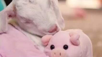 This video of a baby goat cuddling his toy piggy is the cutest thing you'll see all day!