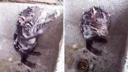 Incredible footage shows a rat showering itself like a human!