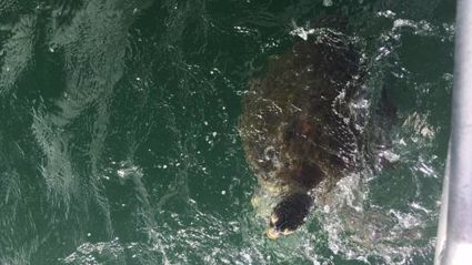 Turtle caught in Whangarei Harbour