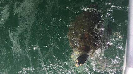 Turtle caught in Whangarei Harbour