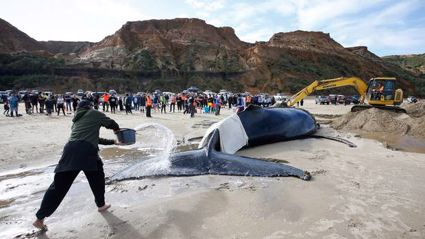 Whale stranded on Baylys Beach in Northland still alive