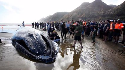 Whale euthanised on Northland beach after hope of rescue runs out