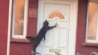 Amazing video shows polite cat knocking on owner's door to be let inside