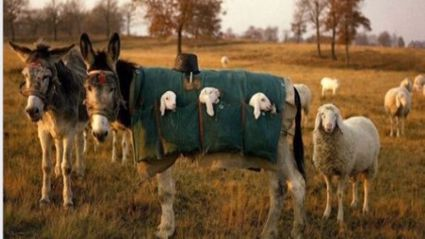 Donkey Nannies are a thing in Italy - the cuteness is ridiculous!