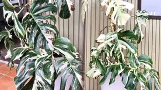 This giant monstera houseplant was just sold in a TradeMe auction for almost $5000