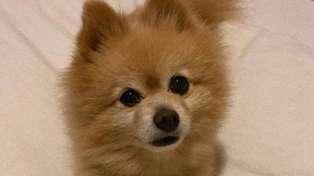 Grooming fail! Dog goes viral after owner hilariously botches his lockdown haircut
