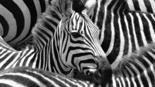 This zebra photo optical illusion has left the internet completely divided