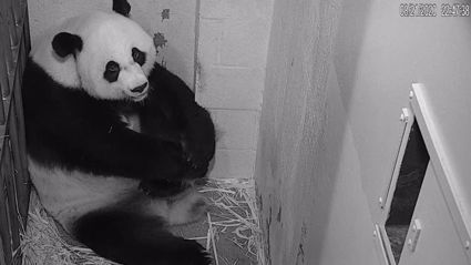 Heartwarming moment a giant panda cub is born goes viral for being so adorable