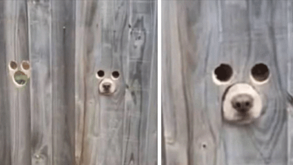 Owner creates genius dog-sized holes in fence so her pups can watch people passing by